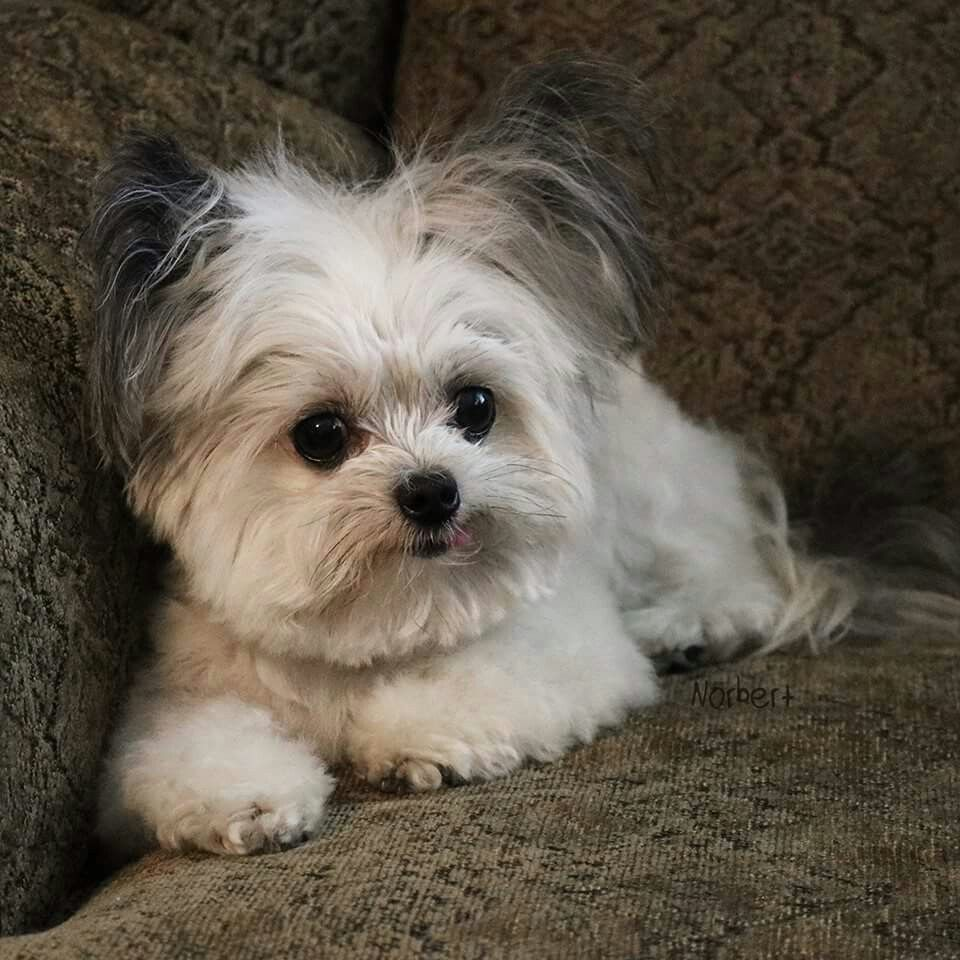 Norbert The Adorable Cute Little Animals Cute Dogs Dog Love