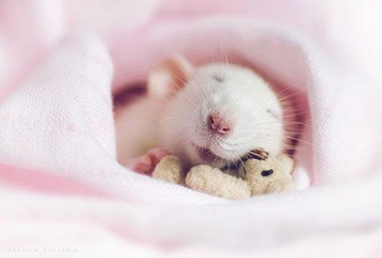 Rat sleeping snuggled up in pink blanket - Photo: Jessica Florence