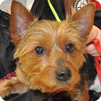 Farmington Mn Norwich Terrier Mix Meet Waldo A Dog For Adoption Http Www Adoptapet Com Pet 18054834 Farmington Min Norwich Terrier Dog Adoption Terrier