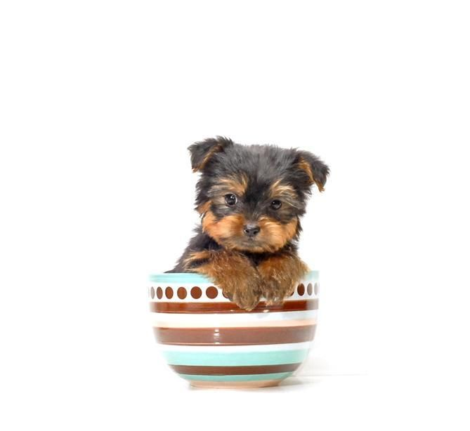 BUY our YORKIE PUPPY FOR ADOPTION NEAR YOUNGSTOWN OHIO