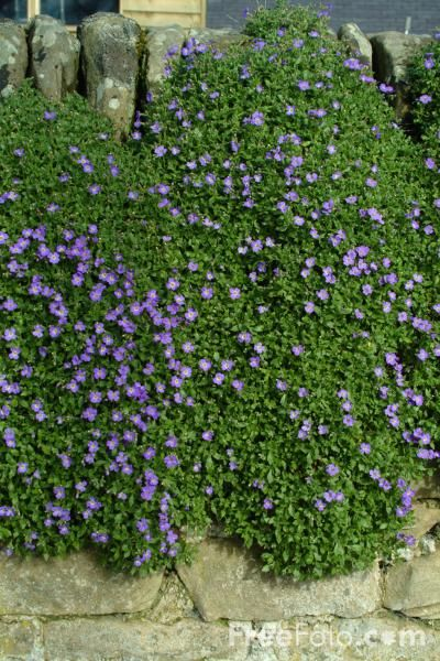 Aubretia A Trailing Evergreen Plant Named In Honour Of
