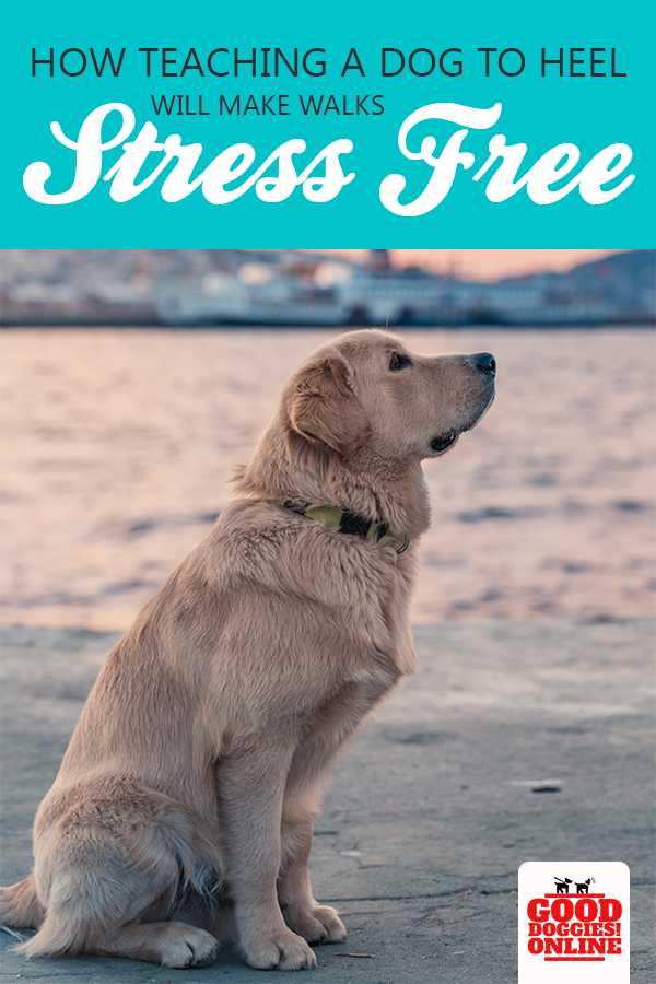 How Teaching A Dog To Heel Will Make Walks Stress Free Dog Training Training Your Dog Dog Training Obedience