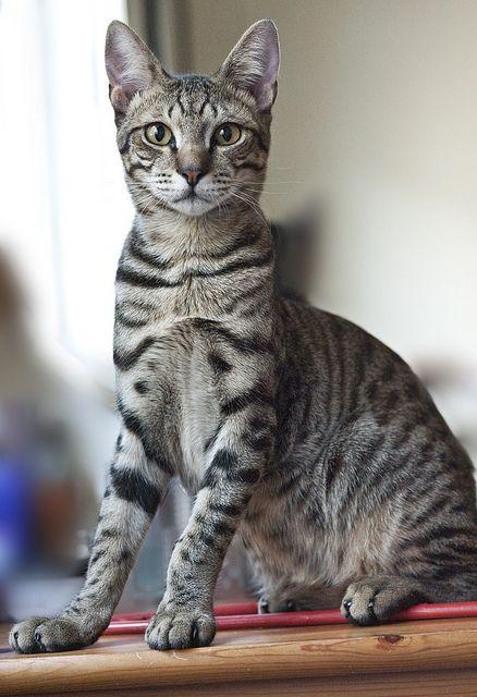 Egyptian Mau Https Represent Com Kittenshirt Egyptian Cat Breeds Cat Breeds Egyptian Mau
