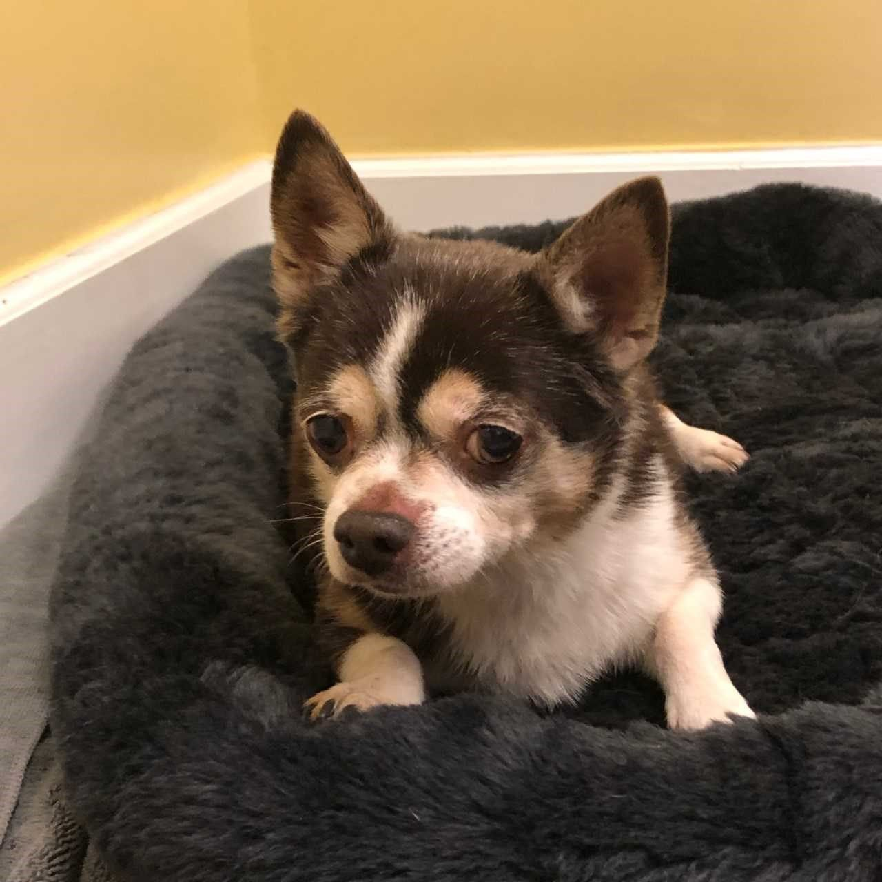 Adopt Aggie On Animal Rescue Chihuahua Dogs Animals