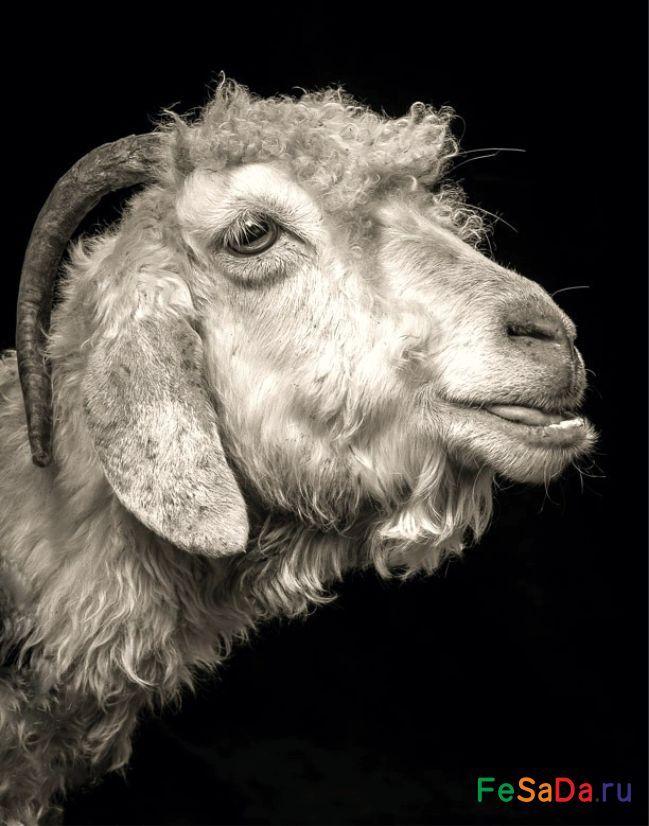 Коза овца баран картинки данный