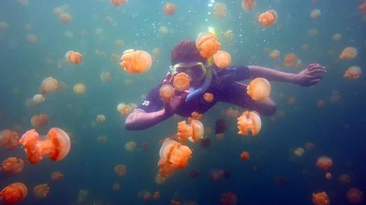 Jolly snorkeling. A tourist enjoys snorkeling accompanied by dozens of non-poisonous jellyfish at Misool island, Raja Ampat. Photo courtesy of Kakaban tour and travel.