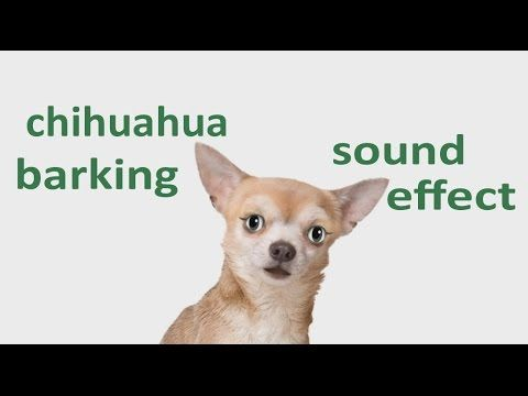The Animal Sounds Chihuahua Barking Sound Effect Animation