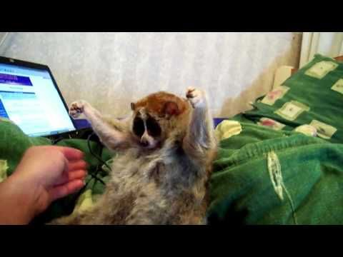Slow Loris Tickle Party The Things We Discuss In The Office