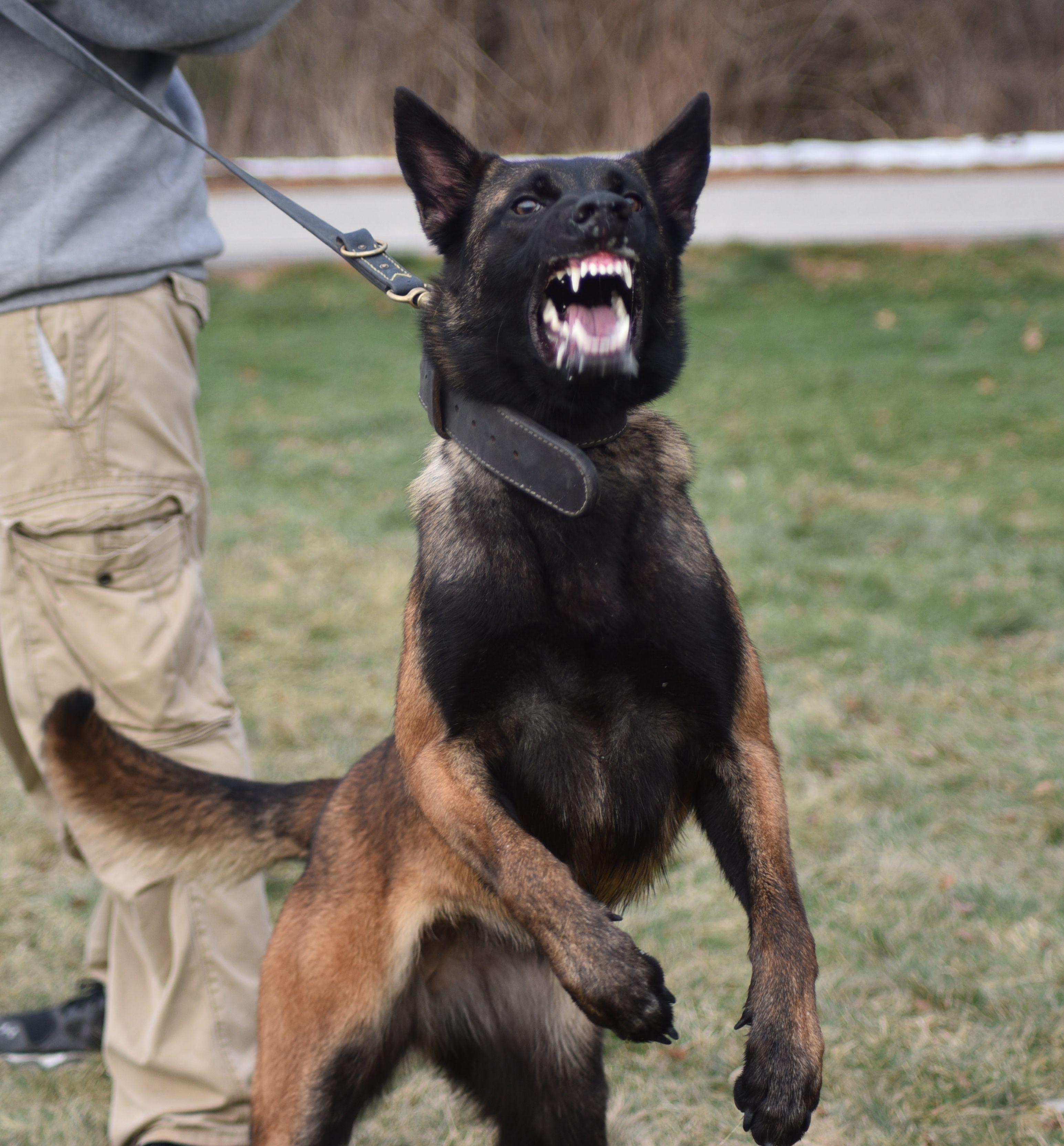 Best Dog Training Techniques Dogtraining101 Howtotrainapuppy Belgian Malinois Dog Malinois Dog Belgian Malinois Training