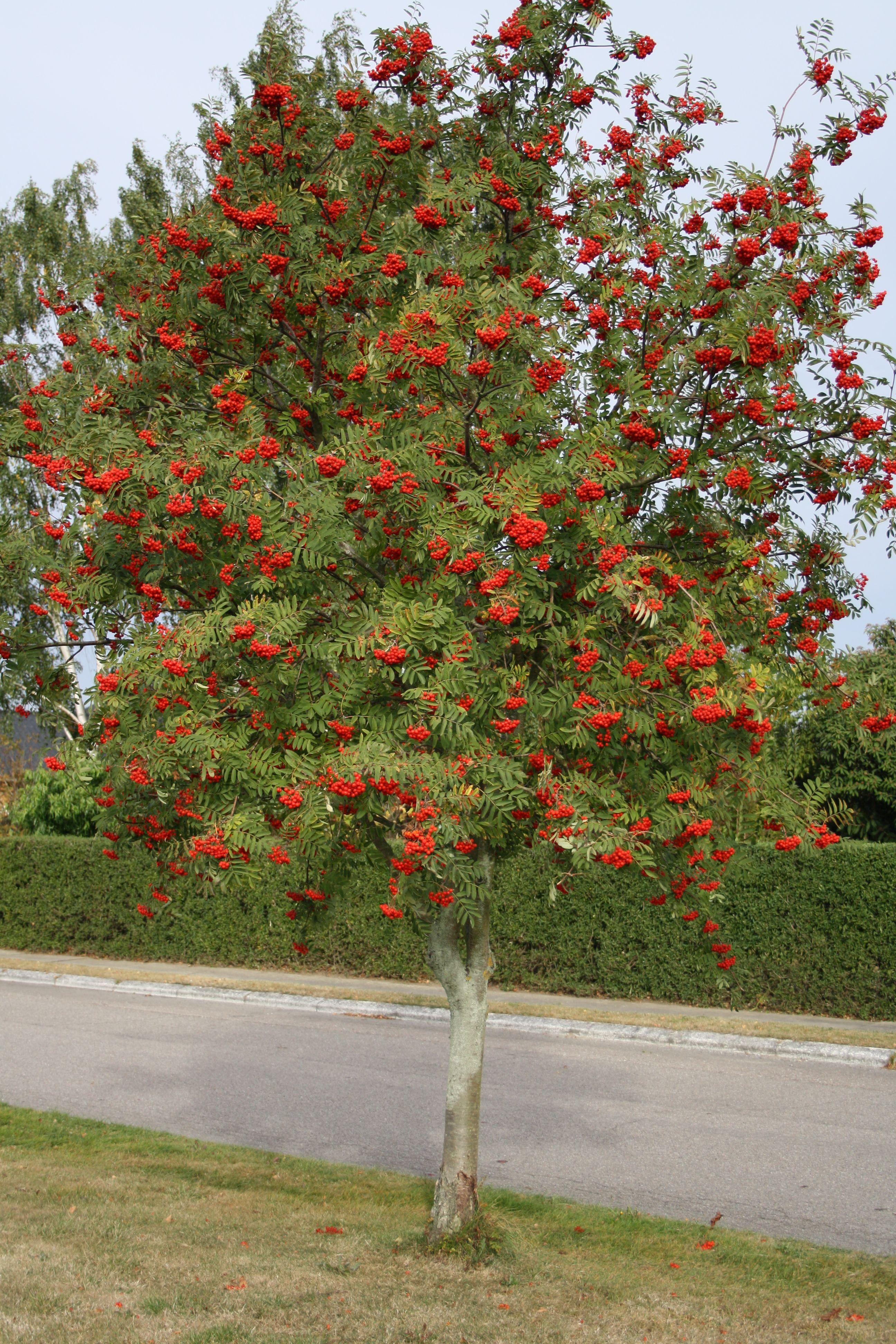 Rønnebær snaps Home and Garden Amba i 2020 Kendte