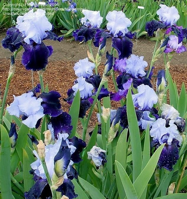 Full Size Picture Of Tall Bearded Iris Dangerous Mood Iris Iris Garden Iris Flowers Bearded Iris