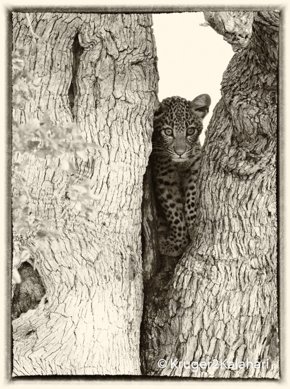 Photographing Leopards One Of Africa S Most Elusive Animals Med Billeder