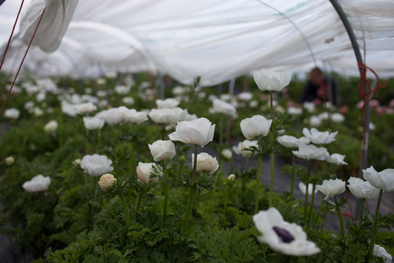 How To Grow Anemones Floret Flowers White Anemone Flower Growing Tulips Anemone Flower