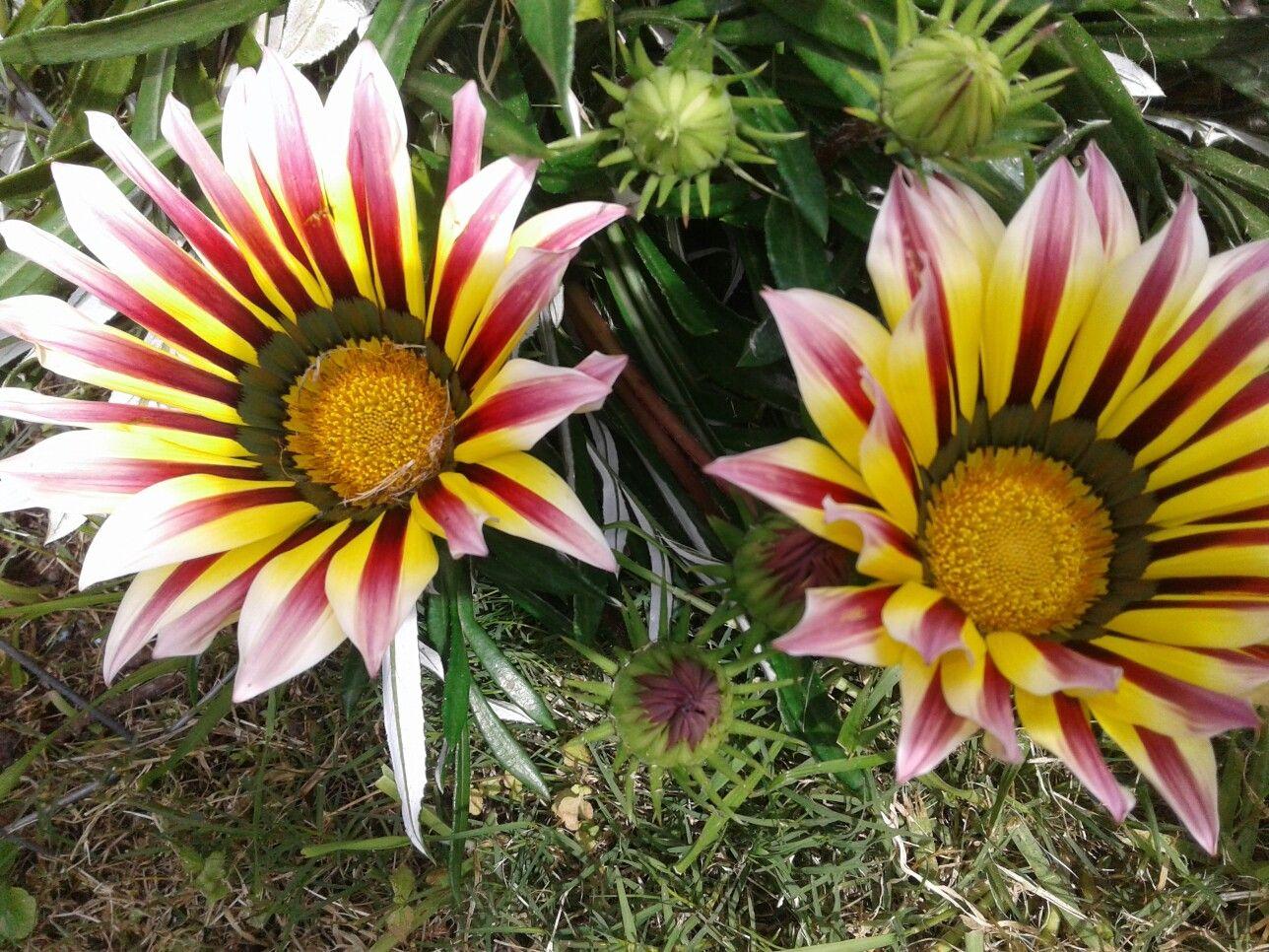 rayitos de sol   flores jardin garden flowers   Pinterest   Rayos de ...