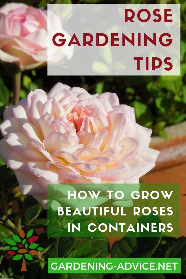 Growing Roses In Containers  Rose Bush Care For Pots is part of Growing roses, Rose care, Container roses, Planting roses, Container gardening flowers, Rose garden - Growing Roses In Containers adds great summer color to your patio  Learn how to grow roses and taking care of them in pots