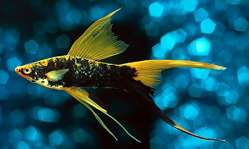 Freshwater tropical fish hi fin lyretail swordtail for Community fish list