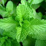 Peppermint Essential Oil Properties - http://www.healtharticles101.com/peppermint-essential-oil-properties/#more-11921