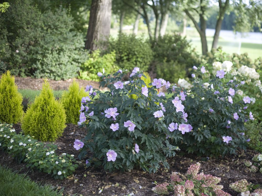 Rose Of Sharon Pollypetite 3 4 A Sterile Dwarf Hybrid With A