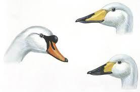 swan head - חיפוש ב-Google