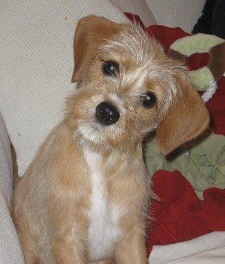 Schnauzer Dog Schnauzer King Schnauzers Cavalier King Charles Miniature Schnauzer Miniature Dog Breeds King Charles Dog Miniature Dogs