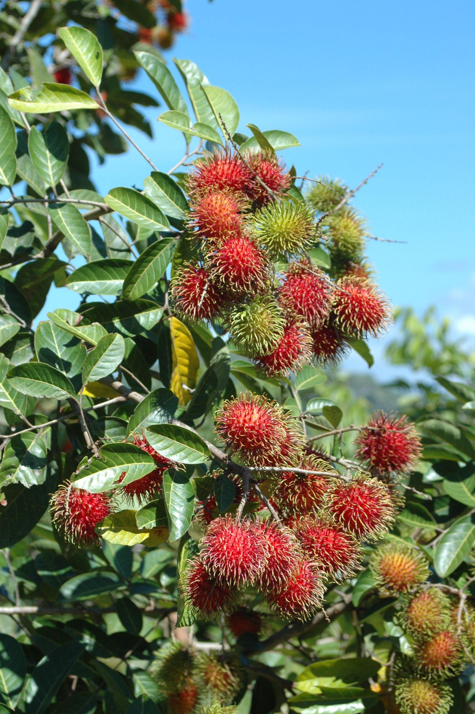 ปักพินในบอร์ด Tropical Fruits