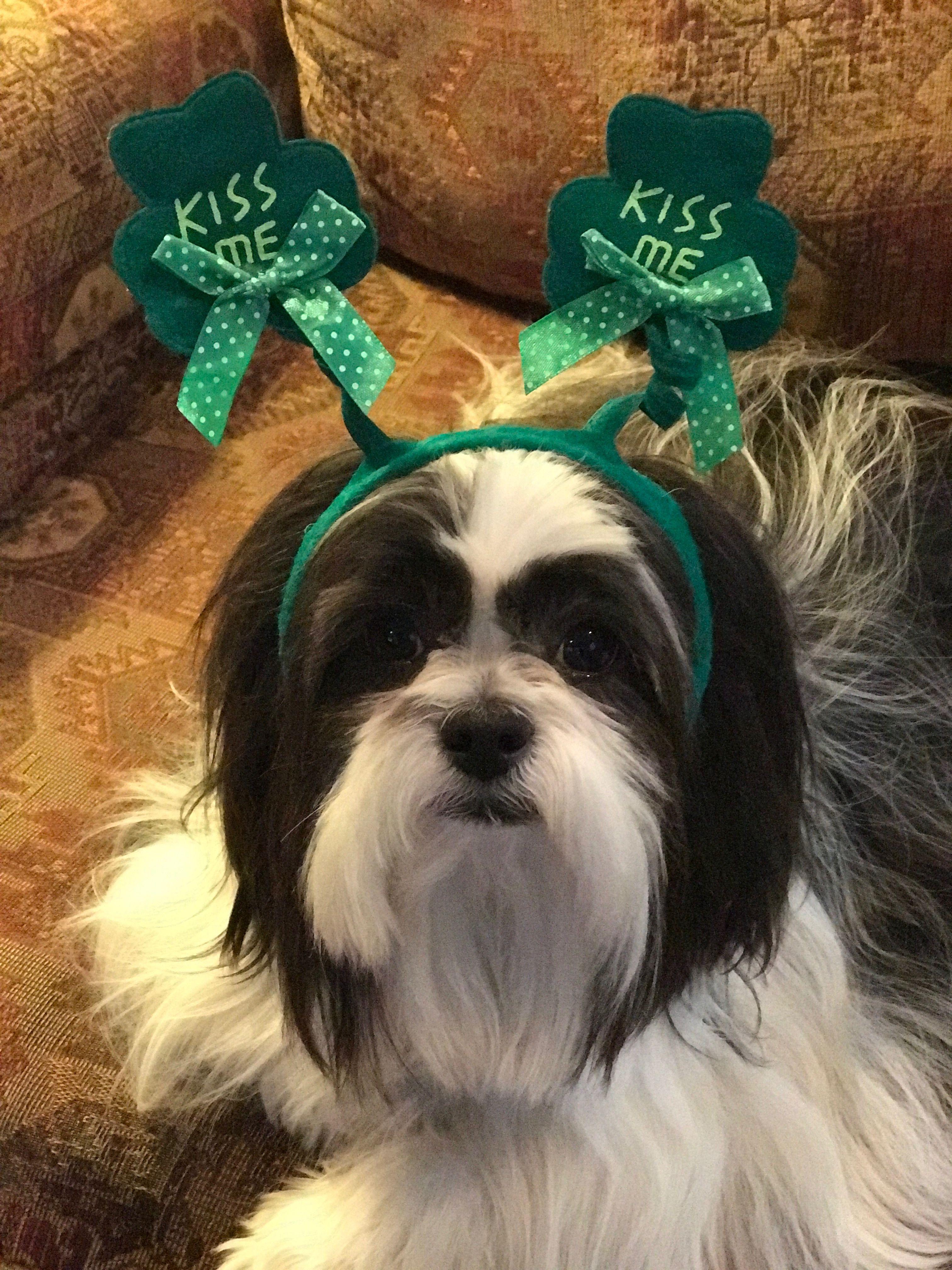 Shih Tzu St Patrick S Day Irish Kiss Me Headband Green Shih Tzu