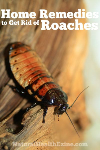 home remedies to get rid of roaches insect repellent pinterest. Black Bedroom Furniture Sets. Home Design Ideas