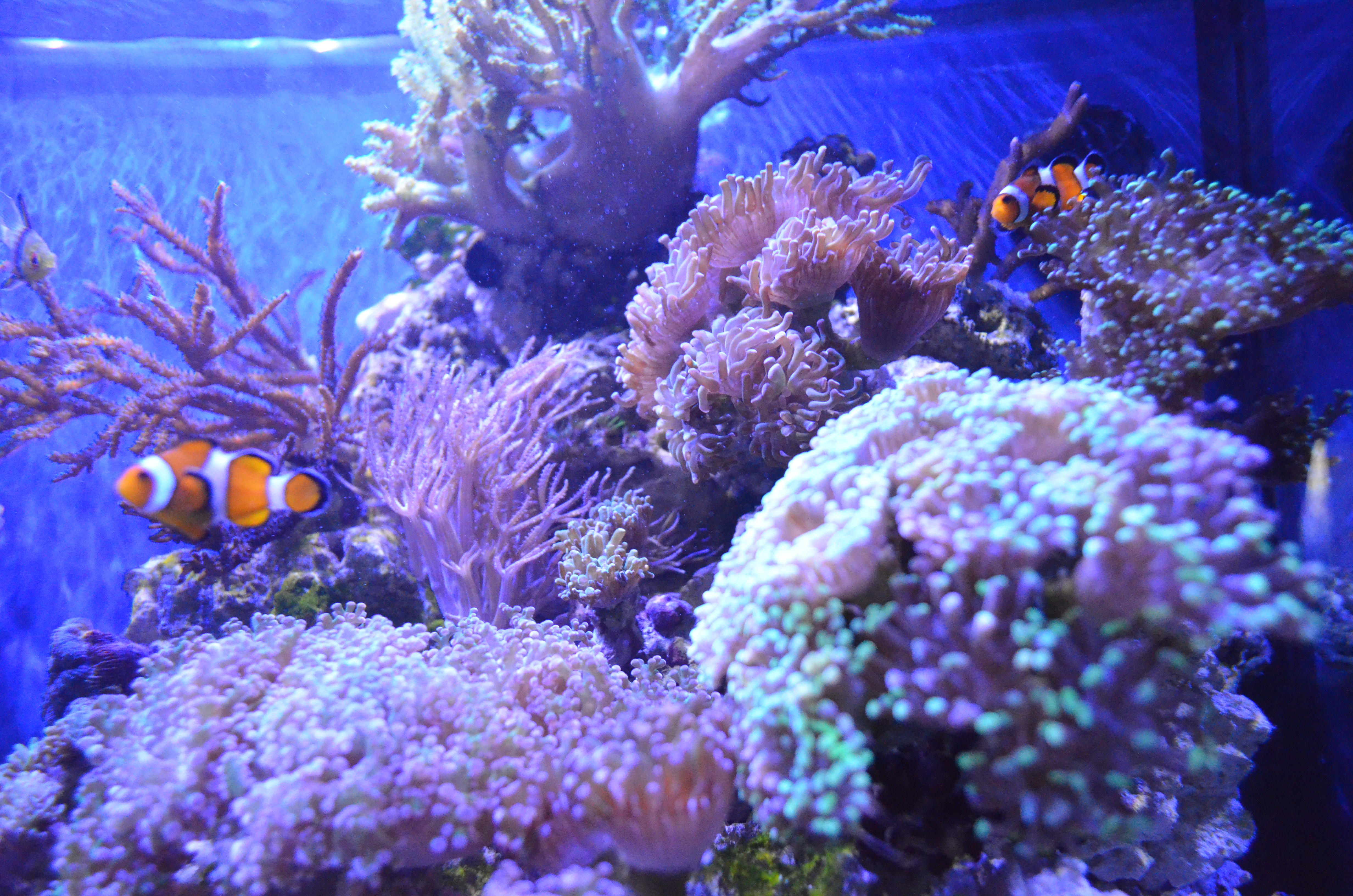 Saltwater Fish tank clown fish with frogspawn coral
