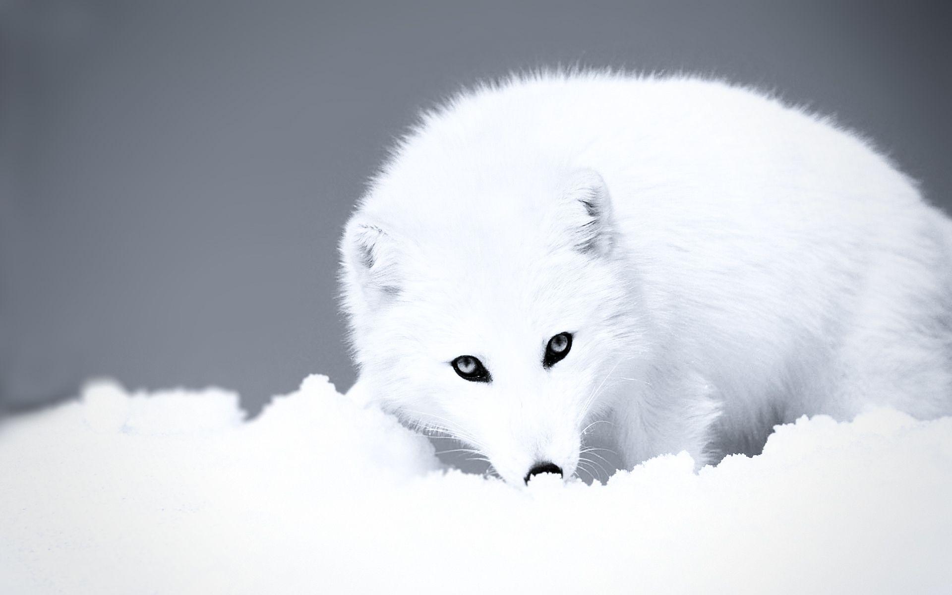 ScreenHeaven Pure White Arctic Fox Snow Ice Cold Desktop And