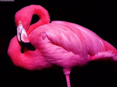 Pink Flamingo - fun fact 'flamingos in captivity that are not fed Astaxanthin rich diets are white'