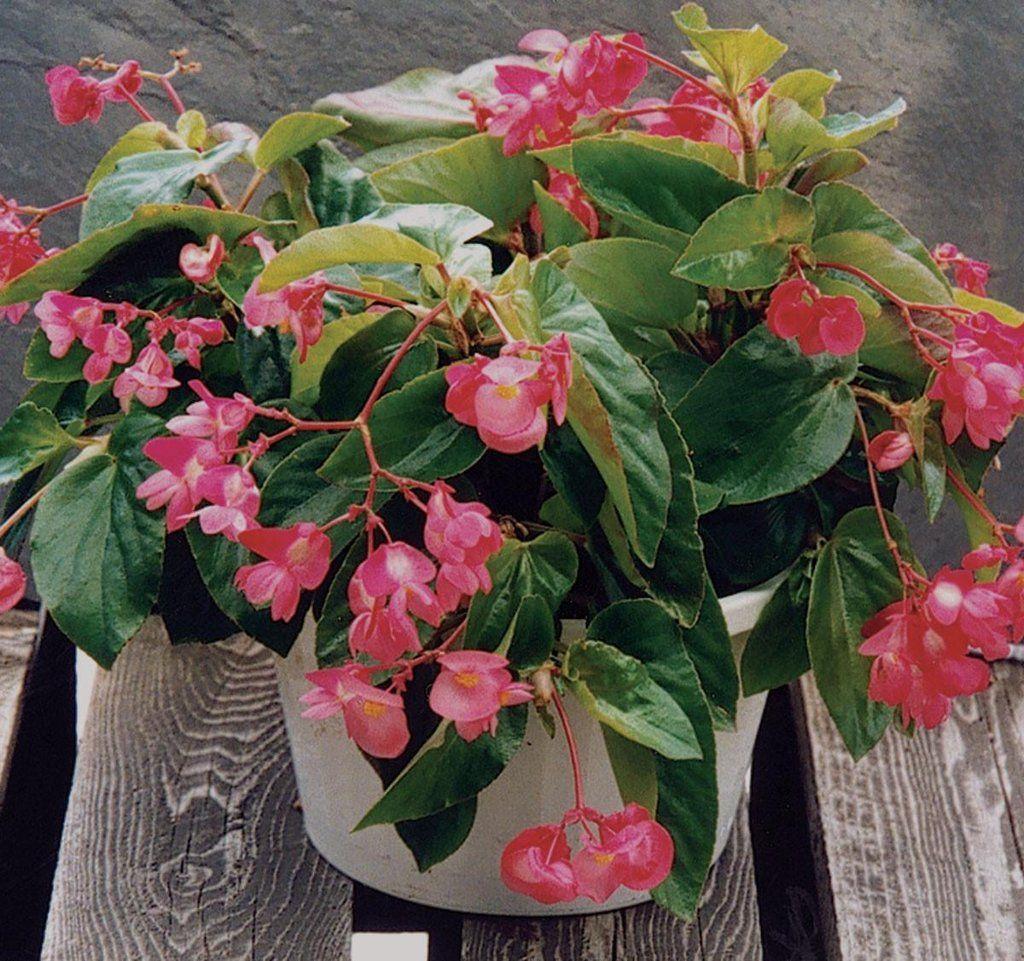 Dragon Wing Pink Begonia Con Imagenes Plantas De Sombra