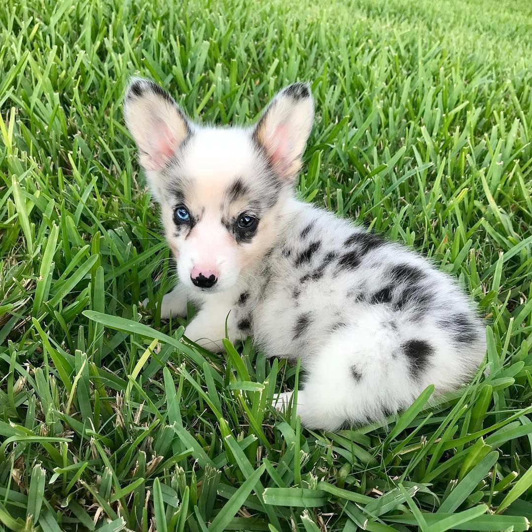 Mini Female Akc Puppies in 2020 (With images