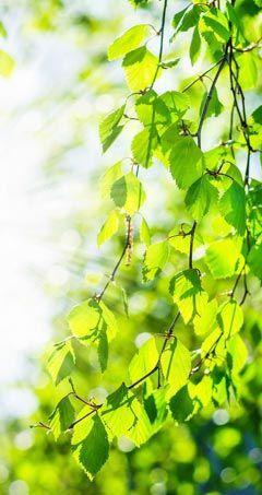 birke und birkenbl tter wirkung und anwendung heilpflanzen pinterest gesundheit kr uter. Black Bedroom Furniture Sets. Home Design Ideas