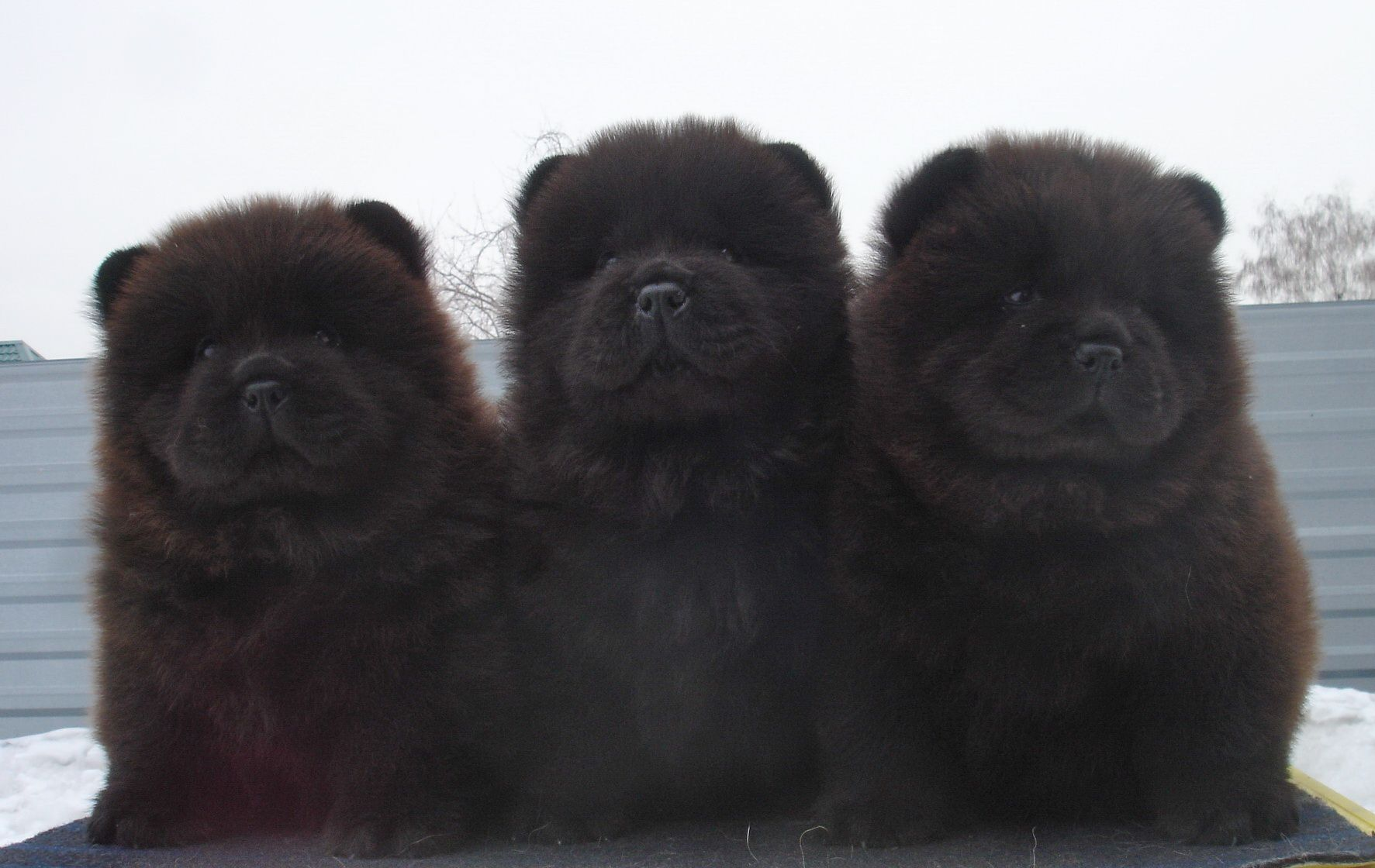 10 Things You Need To Know About Chow Chows Chow Chow Dog