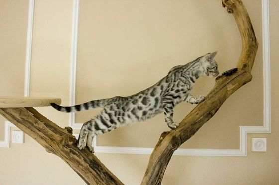 Bengal Kitten I Want One With Images Bengal Kitten Bengal Cat Found Cat