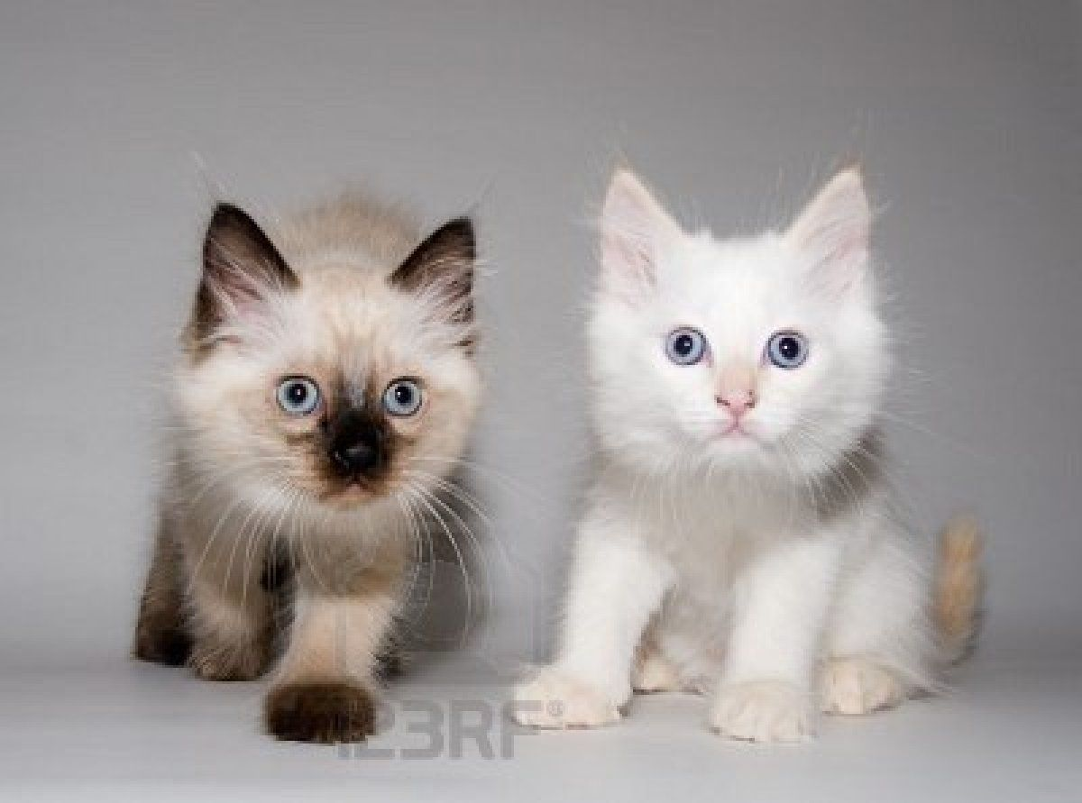 Flame Ragdoll Point Siamese Cats