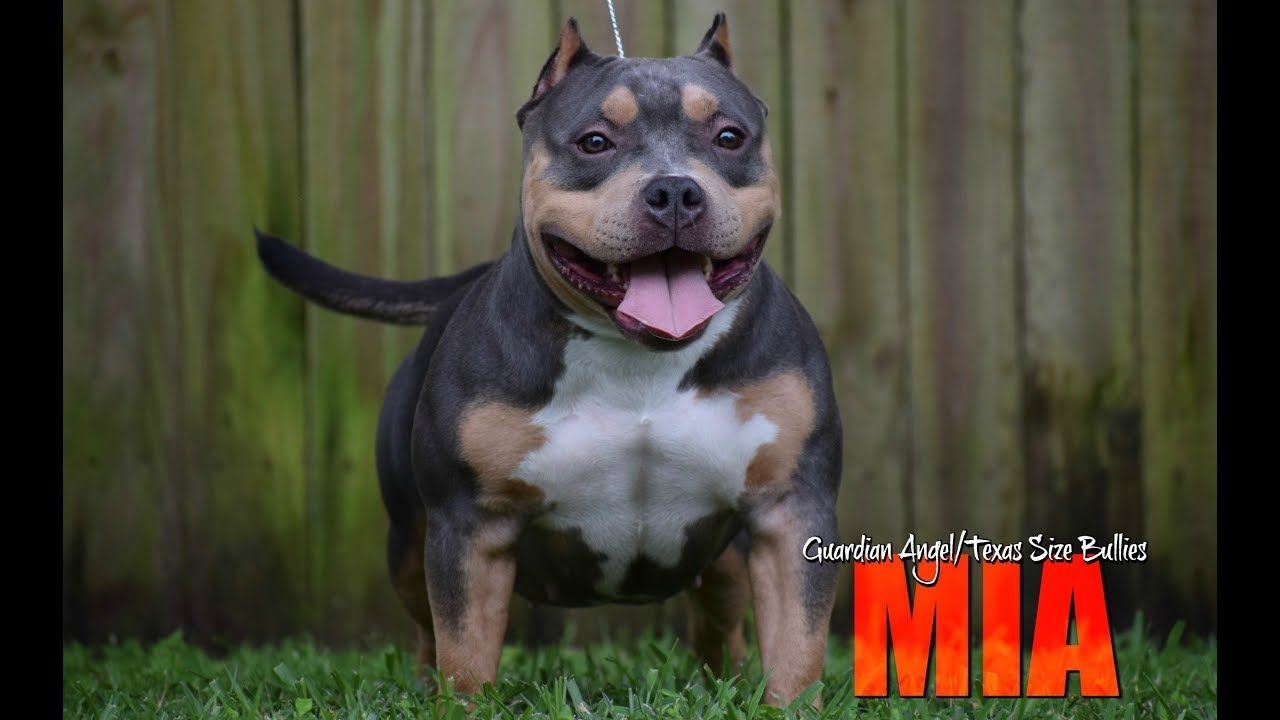 Top Pocket American Bully Breeder 2018 Lineup Studs Females