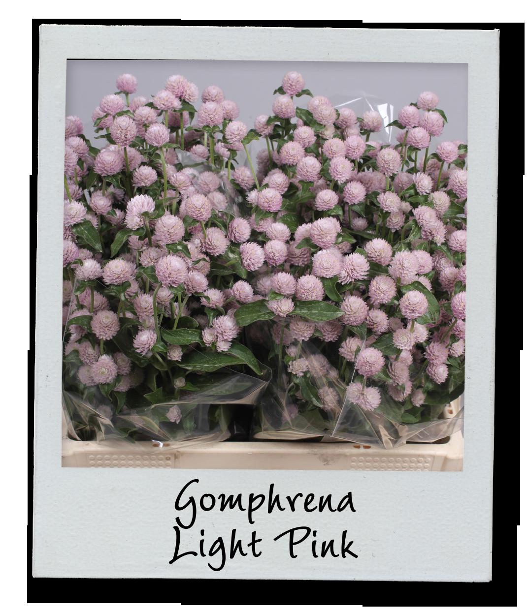 Holex Insights newsletter week 42 - Gomphrena Light Pink