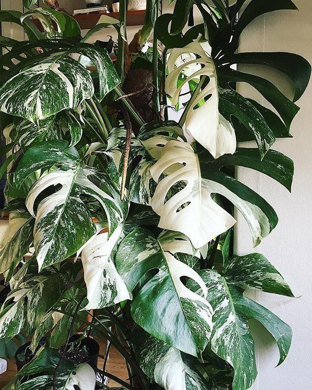 Monstera Albo Variegata | Home & Garden | Variegated ...