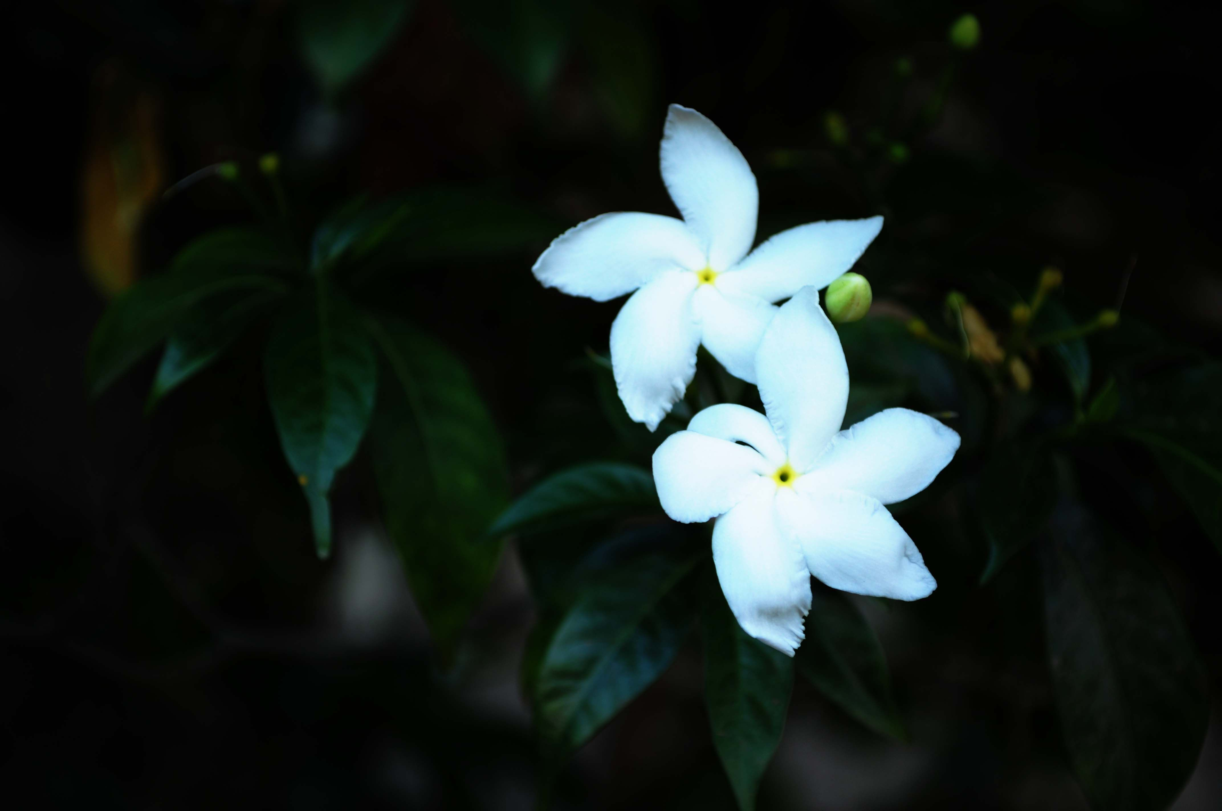 Nandiarvattom Or Crepe Jasmine Or Carnation Of India