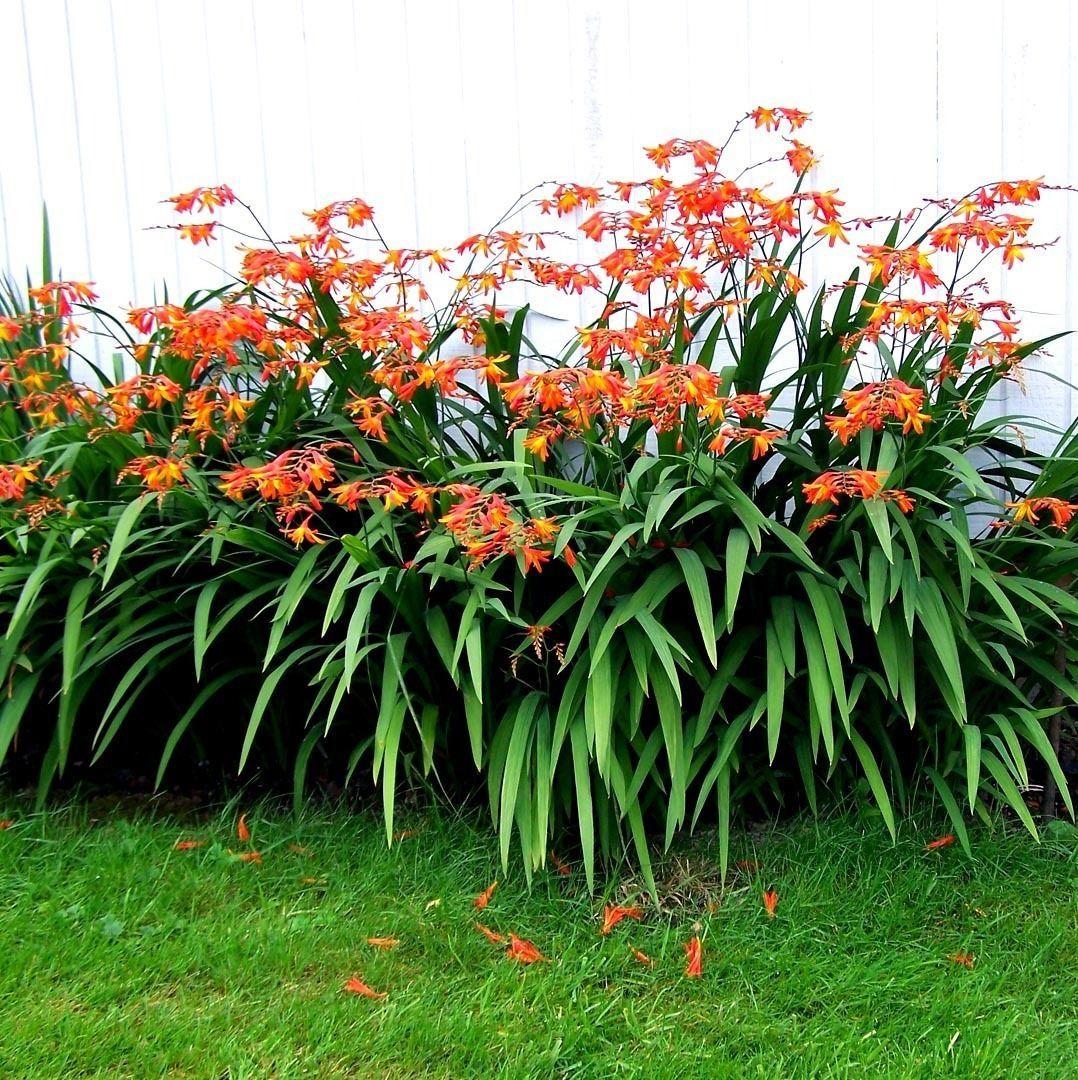 24 Young Crocosmia Plants Bulbs Hardy Perennial Flower South