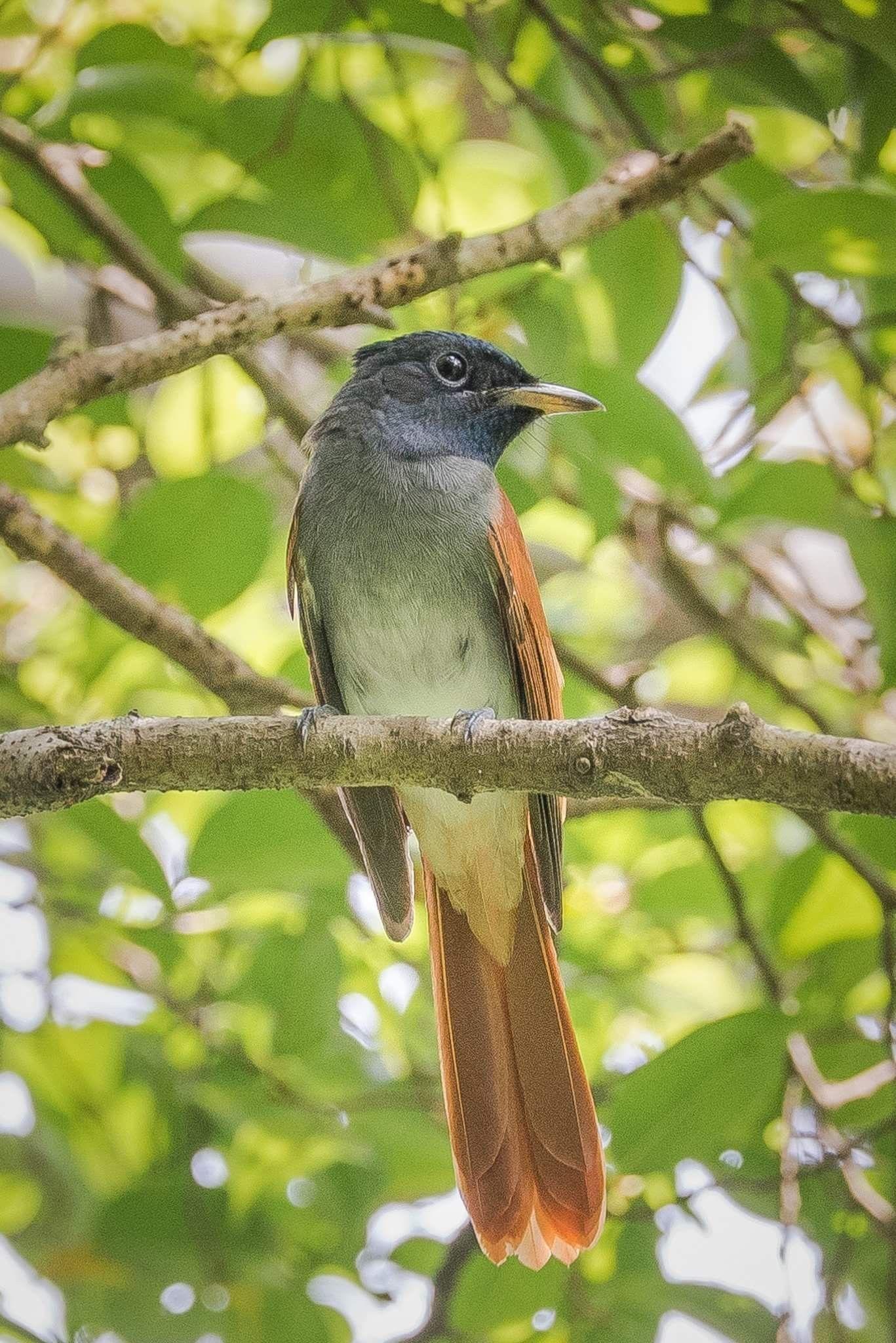 Asian Paradise Flycatcher bird nature flycatcher
