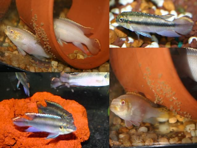 An African Cichlid Calm Enough for Community Aquariums, The Kribensis Kribensis breaks rule, it is an African Dwarf Cichlid that is a great community aquarium fish, calm and able tank mate, eats anything and survives a wide range of conditions.