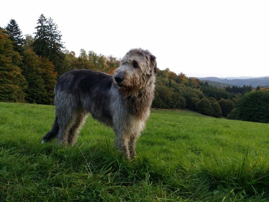 Irish Wolfhound Irish Wolfhound Wolfhound Dogs