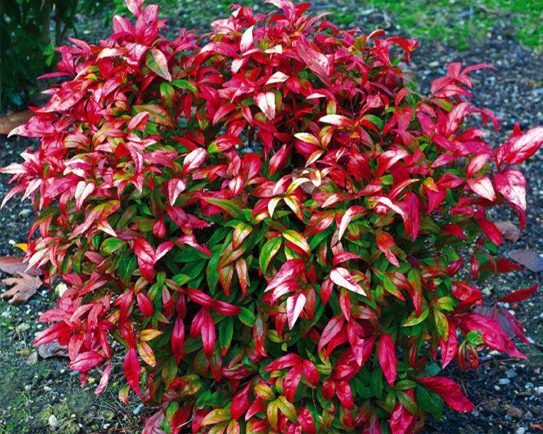 Nandina firepower nandina firepower p pini riste for Briant plantes