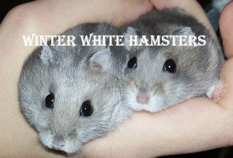 Http Dwarfhamsterhome Com Winter White Hamster Winter White Hamster Hamster Dwarf Hamster