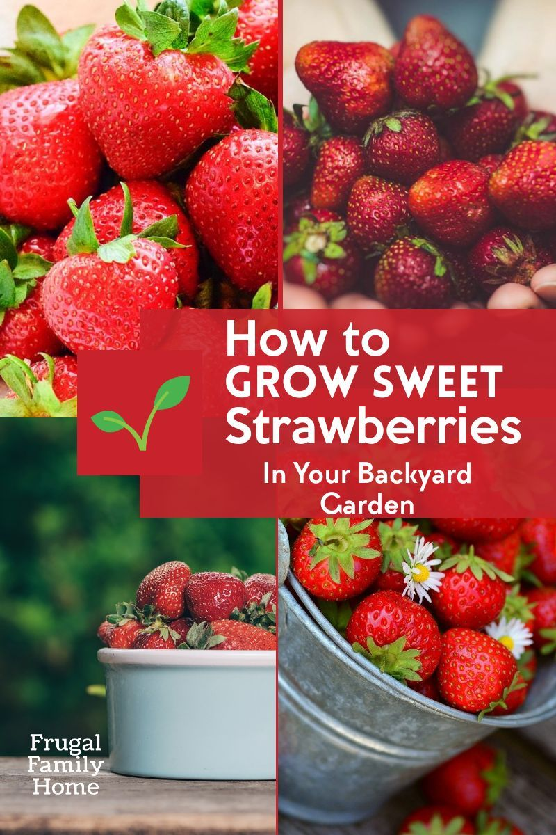 Gardening Guide How To Grow Sweet Strawberries In 2020 Growing Strawberries Strawberry Strawberry Garden