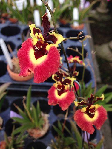 Tolumnia Genting Sunray Z-20449   Orchideen   Pinterest   Orchideen