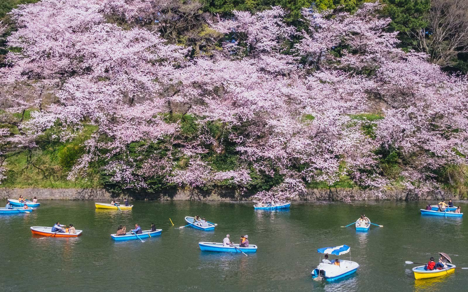 Japan S Cherry Blossoms Are Predicted To Arrive Early This Year Here S When You Can Expect To See Them Japanese Flowers Japan Cherry Blossom Season Cherry Blossom Japan