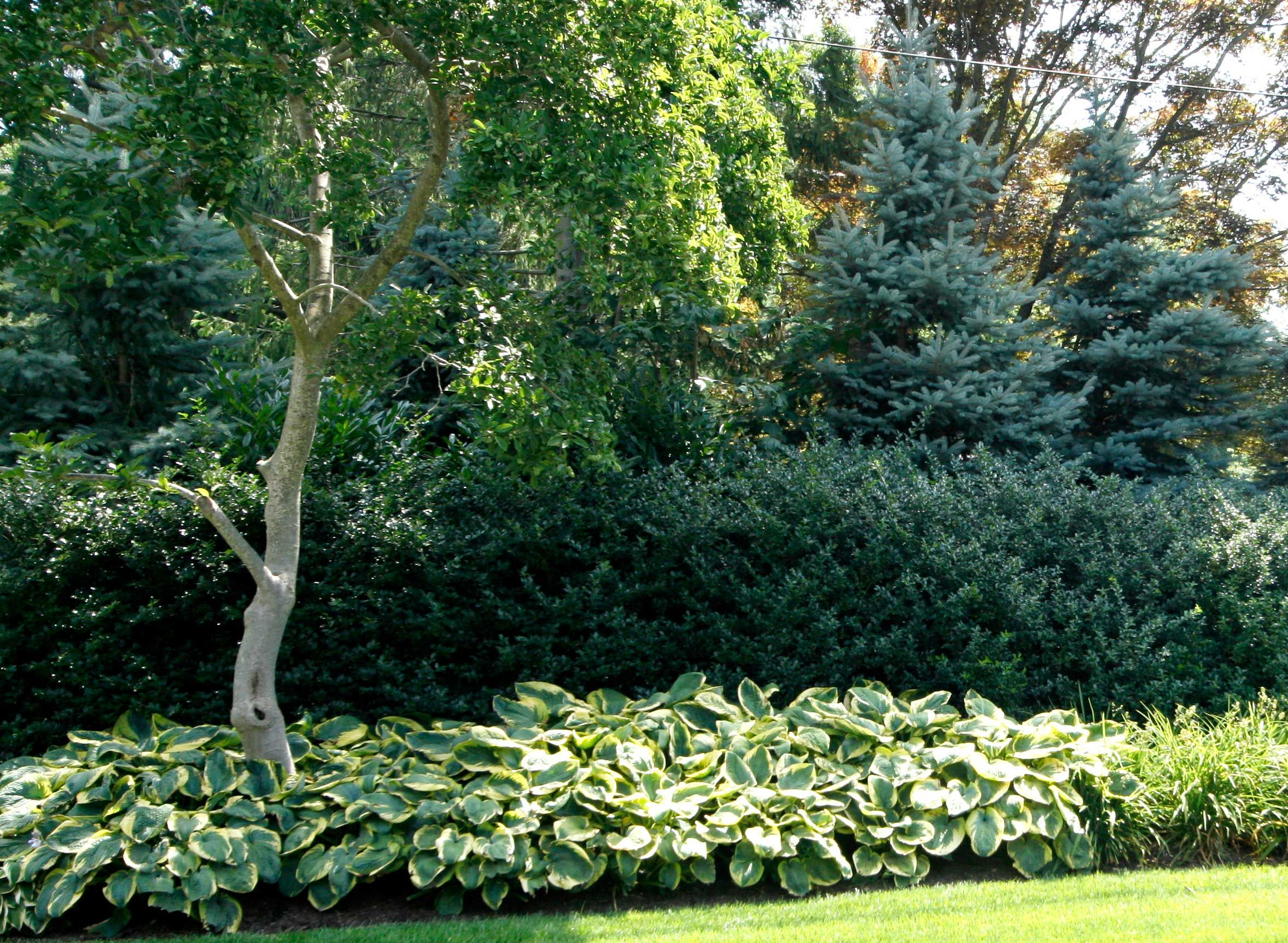Landscaping Evergreen Trees For Privacy : Green giant arborvitae with a mix of annabelle hydrangea